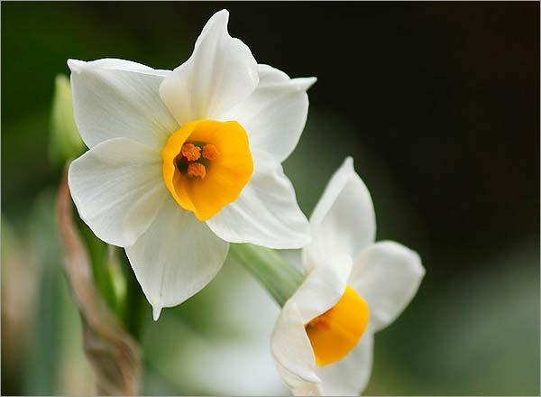 水仙の正しい育て方!花後はどうする?花が咲かない原因は?